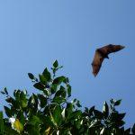 Vleermuizen in de lucht.