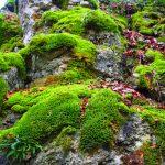 Muurplant mos